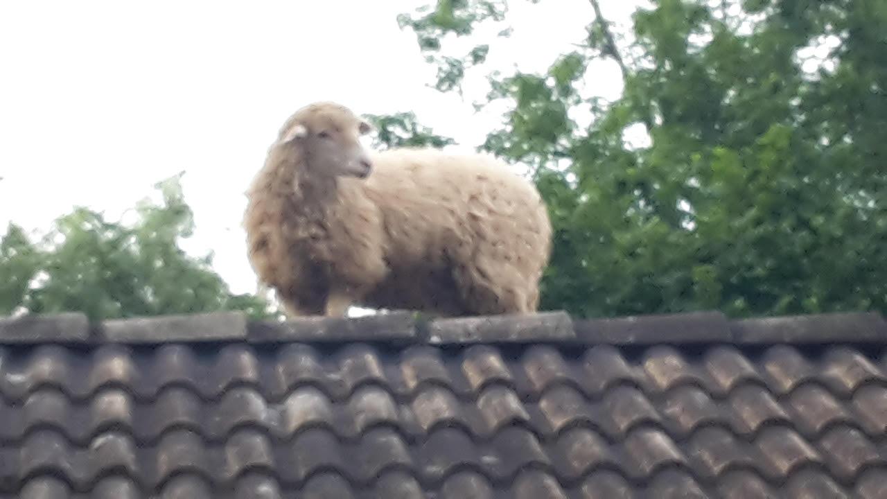 un mouton sur un toit, ça c'est jazzy !
